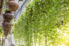 Зеленый завод Creeper или Dischidia Nummularia Variegata Стоковые Изображения RF