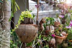 Зеленый завод Creeper или Dischidia Nummularia Variegata Стоковые Фото