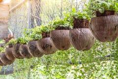 Зеленый завод Creeper или Dischidia Nummularia Variegata Стоковые Изображения