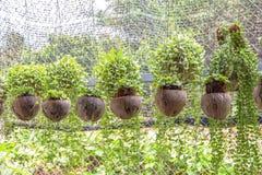 Зеленый завод Creeper или Dischidia Nummularia Variegata Стоковое Изображение RF