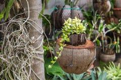 Зеленый завод Creeper или Dischidia Nummularia Variegata Стоковое Фото