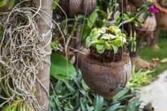 Зеленый завод Creeper или Dischidia Nummularia Variegata Стоковая Фотография