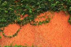 Зеленый завод Creeper стоковые изображения rf