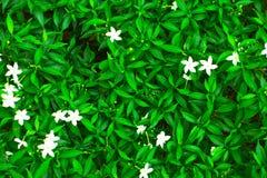 Зеленый зацветать лист и расплывчатые белые цветки Стоковые Фото