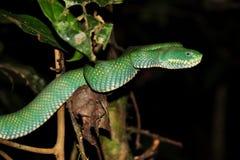 Зеленый змеенжш ямы Стоковое Изображение