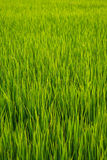 Зеленый злаковик Стоковая Фотография