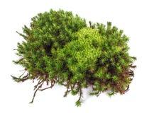 Зеленый изолированный мох Стоковые Фотографии RF