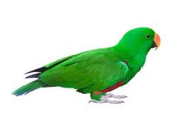 Зеленый изолированный попугай длиннохвостого попугая Стоковое Изображение RF