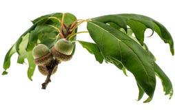 Зеленый изолированный дуб жолудя Стоковые Фотографии RF