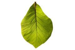 Зеленый изолированный teak Стоковая Фотография RF