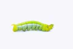 Зеленый изолят животных гусениц червя на белой предпосылке Стоковое фото RF