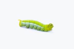 Зеленый изолят животных гусениц червя на белой предпосылке Стоковая Фотография RF