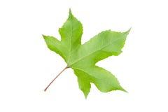 Зеленый изолят кленового листа на белизне Стоковые Фото