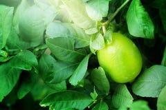 Зеленый лимон на зеленом цвете дерева лимона Стоковое Изображение RF