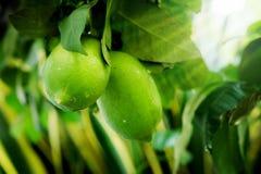 Зеленый лимон на зеленом цвете дерева лимона Стоковые Изображения