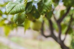 зеленый лимон стоковое изображение rf