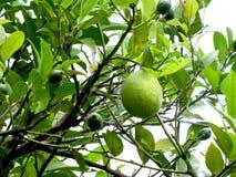 зеленый лимон Стоковое Изображение