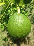 зеленый лимон Стоковые Изображения RF