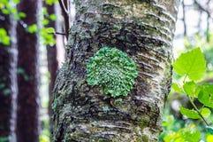 Зеленый лишайник на стволе дерева Стоковая Фотография RF