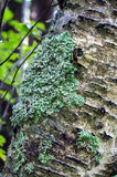 Зеленый лишайник на стволе дерева Стоковые Фото