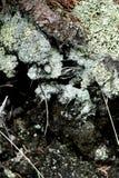 Зеленый лишайник Стоковые Фотографии RF