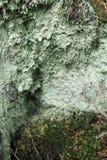 Зеленый лишайник Стоковые Изображения RF