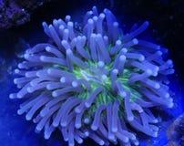 Зеленый и белый длинный коралл плиты щупальец Стоковое фото RF