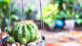 Зеленый кактус в саде стоковая фотография