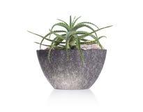 Зеленый кактус в сером баке Стоковое Изображение RF