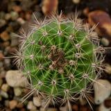 Зеленый кактус Стоковые Фото