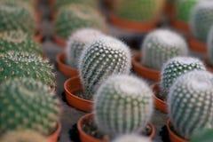 Зеленый кактус Стоковая Фотография RF
