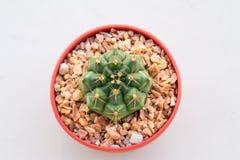 Зеленый кактус Gymnocalycium в коричневом баке Стоковые Фото