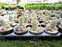 Зеленый кактус Gymnocalycium Стоковая Фотография RF