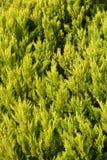 Зеленый кипарис Стоковое Фото