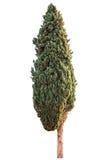 Зеленый кипарис стоковые фотографии rf