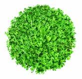 Зеленый ковер клевера Стоковая Фотография RF