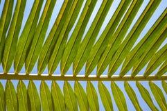 Зеленый кокос выходит предпосылка Стоковая Фотография