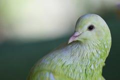 Зеленый голубь Стоковое фото RF