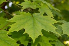 Зеленый конец-вверх кленовых листов Стоковое Изображение