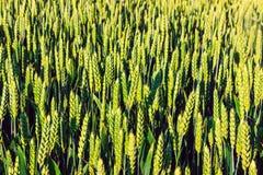 Зеленый конец-вверх ушей пшеницы детеныши женщины штока портрета изображения Стоковое фото RF