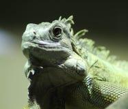 Зеленый конец игуаны Стоковое Фото