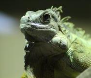 Зеленый конец игуаны Стоковые Фотографии RF