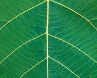 Зеленый конец лист Teak вверх Стоковые Фотографии RF