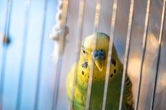 Зеленый конец попугая волнистого попугайчика вверх в клетке Стоковое фото RF