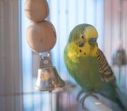 Зеленый конец попугая волнистого попугайчика вверх в клетке Стоковое Фото