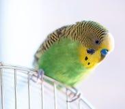 Зеленый конец попугая волнистого попугайчика вверх сидит на клетке Стоковые Изображения RF