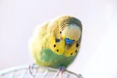 Зеленый конец попугая волнистого попугайчика вверх сидит на клетке Стоковое Изображение RF