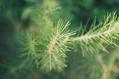 Зеленый конец сосны вверх Стоковая Фотография RF