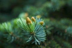 Зеленый конец хворостины firr вверх Стоковые Изображения