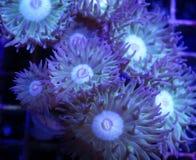 Зеленый коралл Дункана Стоковые Фото